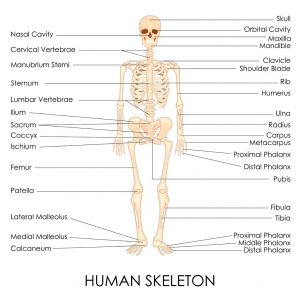 27446809 - vector illustration of diagram of human skelton